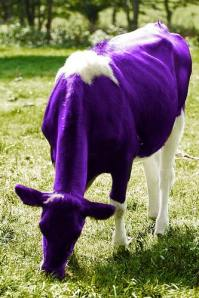 purple cow photo by Miletbaker on flickr commons